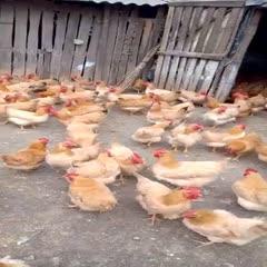 广西壮族自治区玉林市福绵区 现货三黄鸡,项鸡