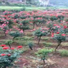 廣元蒼溪縣 紅玫瑰占木 紅刺騰 紅玫瑰
