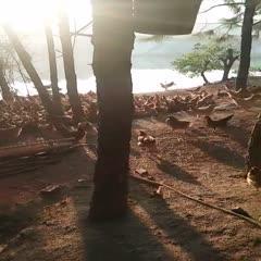 京山市 農家散養土雞土公雞五谷雜糧喂養江漢土公雞可代發可白條