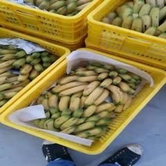 北海米蕉 八成熟
