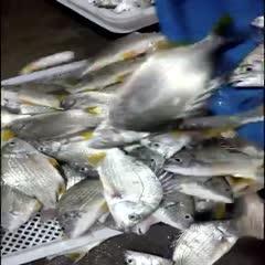 东山县黄鳍鲷 (1)定置网刚捕速冻黄趐鱼:4~6两规格,4斤208元省