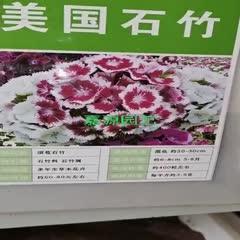 成都锦江区 五彩石竹种子美国石竹新种子包邮