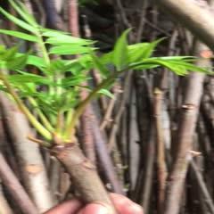 绿香椿芽 混装通货