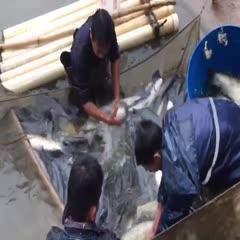 出售黑鲩7一15斤,草鱼5一10斤,鲤鱼2一9斤,大头5一1