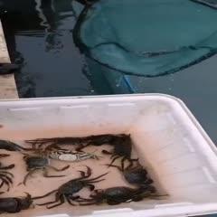 泗洪县 江苏大闸蟹,精品大闸蟹,洪泽湖大闸蟹,2.5母蟹产地直发