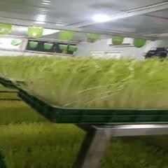 西安豌豆苗 西安菜立方工坊水培养出来的有机*体芽苗菜,初生菜,放心菜,