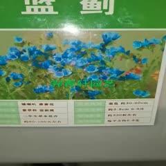 郑州二七区 蓝蓟种子新种子包邮