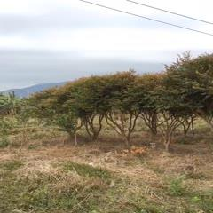 嘉宝果苗 嘉宝果树9年沙巴清场货316棵年后起挖,树型漂亮