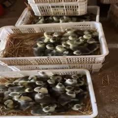 百子鵝苗 百子鵝省級保種示范基地