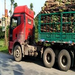 玉林北流市滴水观音种芋 专业批发滴水观音海芋千手观音室内阴生植物水培