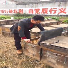 特价供应活体意蜂西蜂云南繁殖回来