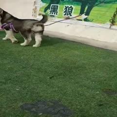 山东省济宁市嘉祥县 精品哈士奇,三个月疫苗,驱虫都做了