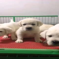 拉布拉多犬 三个精品拉布拉多,疫苗,驱虫齐全