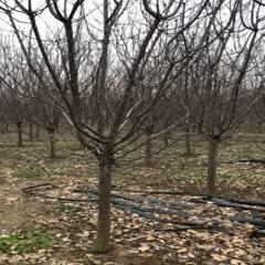 本苗圃基地供应3-15公分精品绚丽海棠