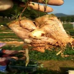 玉林北流市土茯苓苗 2020发家致富的种植产品一一白肉粉质土茯苓