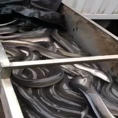 广东省珠海市斗门区 欧洲鳗鱼
