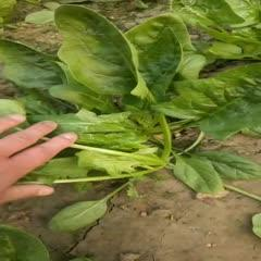 聊城莘县 菠菜新鲜5斤装,小孩孕妇都可以吃自家种植无农药残留