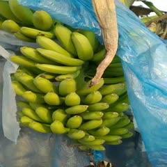田阳县 大把香蕉,七成熟,八成的都有