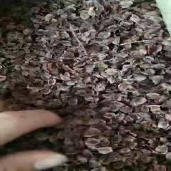 保定安国市 新产中药材大黄种子,干净无杂,芽率95以上,48小时内发货