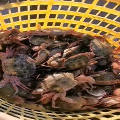 东山县石蟹 石头蟹