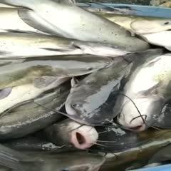 大口鲶鱼 人工养殖 2.5-3公斤