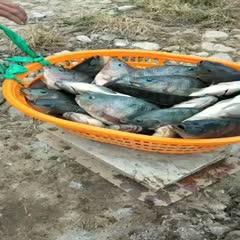 鲷鱼 山塘罗非2-4斤