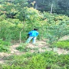 宝鸡凤县五角枫苗 树高2.2米,6年移栽,均在3公分以上