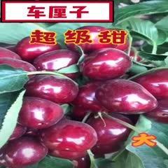 上海黑珍珠苗 超大!超甜!无核!车厘子樱桃树苗 包品种、成*、死苗补发