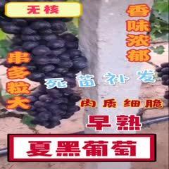 上海夏黑葡萄苗 大!甜!無核!夏黑葡萄樹苗 早熟 包成*、包品種汁多脆甜