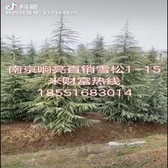 南京浦口區 精品雪松價格