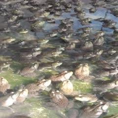 玉林陆川县 长期哄应牛蛙