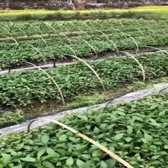 黔南独山县板蓝根种苗 独山县板蓝根苗种植基地出售幼苗