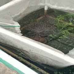 汕头澄海区 暖春战疫  汕头澄海牛蛙主产地种蛙成对出售临产期季节期种蛙