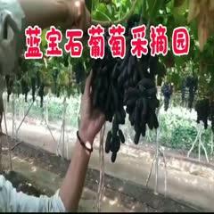 蓝宝石葡萄苗 想要真苗的老板请联系可实地看货绝对保证品种纯度
