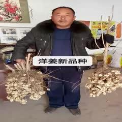 邢台广宗县 洋姜新品种