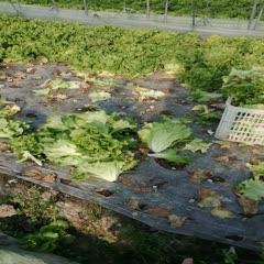 平湖市 生菜,大量供應浙江 上海 江蘇周邊,精品大顆,不包心 不結球