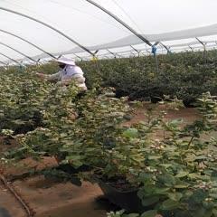 紅河建水縣 云南高山純甜藍莓精品,誠招全國冷鏈整車、零擔、一件代發!