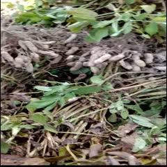 杞縣 老品種 富硒黑花生帶殼生 新貨甜黑皮種籽農家原味種子花生