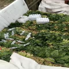 焦作博爱县 春季菠菜大量上市供应