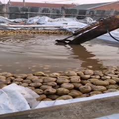 天津寧河咸菜疙瘩 散裝 24個月以上