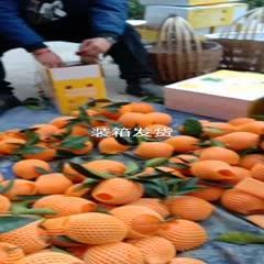 重庆奉节 有一种水果叫,奉节脐橙🍊 🍊 72-1