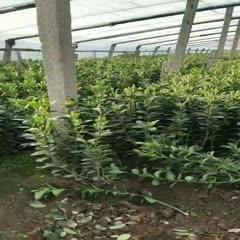 濰坊青州市 大葉黃楊質優價廉