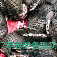 抚州黎川县 7年以上老甲鱼,吃鱼虾长大,适合各类人群食用,是滋补佳品