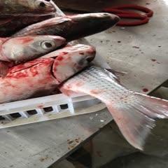 漳州东山县 去肚海水梭鱼乌鱼