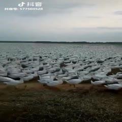 吉安吉水县白鹅 空气环保。青山绿水。在这种条件下生长的,70天到100天。