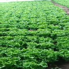 邯鄲 全年供應青葉生菜,保證質量,長期供應,長期合作。