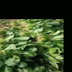 南通通州区 菠菜 大量批发 没黄叶,叶面好