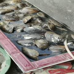 泌阳县 优质河蚌