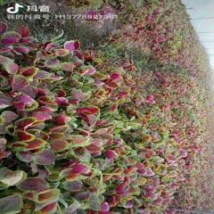 眉山東坡區紅莧菜 10-15cm 紫紅