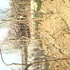 眉县 陕西今年刚开花的翠红李,八月中旬就可以吃到李子了!